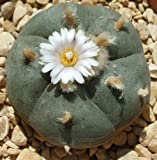 Lophophora williamsii - Peyote - 10 Samen