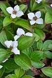 Teppich Hartriegel Cornus canadensis 15-20 cm breit im 1 Liter Pflanzcontainer