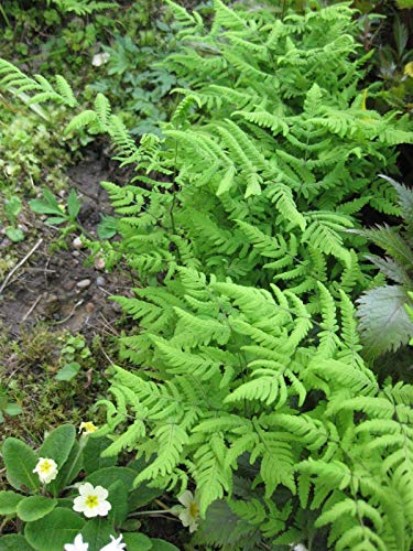 TOMHY Samen-Paket: 3 X Delicate (Gymnocarpium siaceae) Rhizome, Bodenabdeckungen