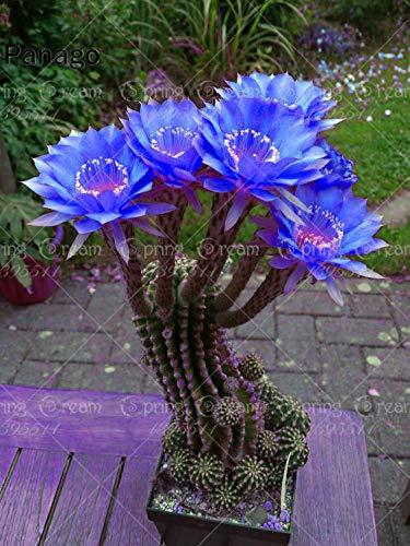 Fash lady 100pcs cactus piante succulente bonsai fiore perenne piante da interno o esterno in vaso per la casa giardino piantare: mescolare