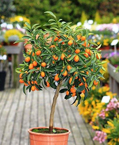 Kumquat, arbre agrume tige