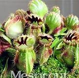 Pinkdose® 2018 Vendita Calda New Blue Cephalotus follicularis 100+ Semi in Vaso