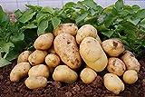 Schlussverkauf! 100pcs Mini & Riese u lila Kartoffelsamen Anti-Falten Ernährung Grün Gemüse Für Hausgarten Pflanzkartoffelsamen - Arcis New