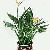 Provide The Best 100pcs / Sacchetto Semi di Strelitzia Semi di Fiore in Vaso Bonsai dei Fiori per Il Giardino Domestico di impianto