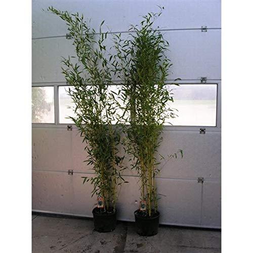 Phyllostachys aureosulcata \'Spectabilis\' Topf C5-5 Liter ca. 125-150 cm - Zick Zack Bambus