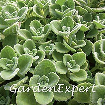 Vista 100 stücke Grün Kubanischen Oregano Samen Mexikanischen Thymian Indische Borretschsamen Spanische Thymian Mehrjährige Kräuterpflanze Garten Bonsai (Mexikanischer Oregano Pflanze)