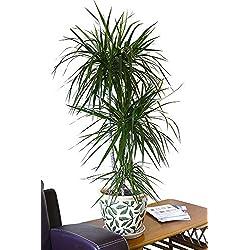 Zimmerpflanze für Wohnraum oder Büro – Dracaena marginata - Drachenbaum. Höhe ca. 1,40m