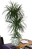 Zimmerpflanze für Wohnraum oder Büro - Dracaena marginata - Drachenbaum. Höhe ca. 1,40m