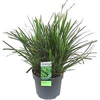 "Carex morrowii""Ice Dance"" - Segge - robustes Ziergras - immergrün mehrjährig -14 cm Topf winterharte Kübelpflanze oder Beet-Staude"