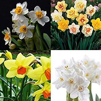Vistaric 400pcs jonquille mixte Double Narcisse Duo Bulbes Graines De Printemps Plante Fleur Bd80