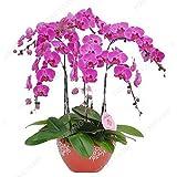 100 PC / bolso raras semillas Mini orquídea Phalaenopsis Miniature interior Semillas Jardín Bonsai flor de la orquídea Pot jardín de las plantas verdes