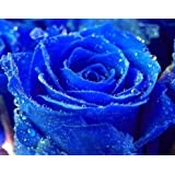 Exotic Plants Rose blu - Rosa blu - 10 semi