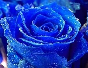 Exotic Plants Rose blu - Rosa blu - 10 semi