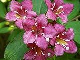Portal Cool 15 Semi Weigelia Fiori (Weigela florida) G711 Semi Samen Semilla Sementes