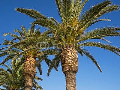 Palmen – Kanarische Dattelpalme – Phönix-Palmen(81424611)