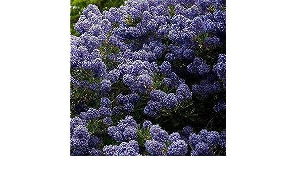 Shop Meeko Ceanothus Blue Mound Lill/Ã/ della California in nove centimetri Pot