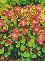 Oxalis deppei Iron Cross Glücksklee von Blumenhandel Ullrich bei Du und dein Garten