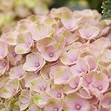 Hortensie Gartenhortensie Magical Revolution rosa