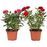 Pack de 2 Rosal Mini Planta Rosas Natural con Maceta con Flor de Colores Surtidos