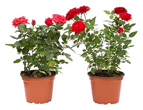 Rosal Mini Planta Natural