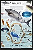 Sharks - Dorling Kindersley Poster Drucken (60,96 x 91,44 cm)