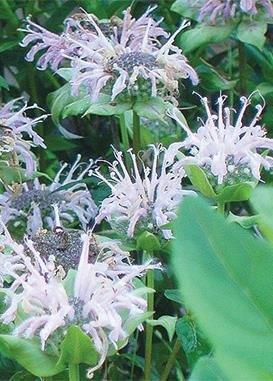 wild-bergamot-monarda-fistulosa-620-certified-pure-live-seed-true-native-seed-by-roundstone-native-s