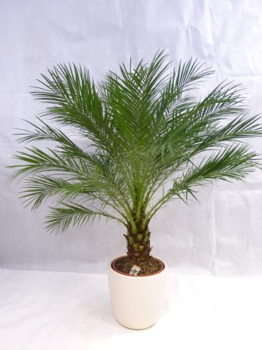 Phoenix roebelenii Zwerg-Dattelpalme 160 cm / 50 cm Stamm / Zimmerpalme Palme