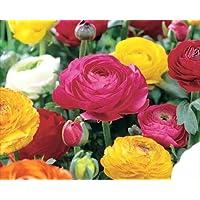 Pack 10 Bulbs Ranunculus 'Mixed' Summer Flowering Bulbs WPC Prins