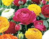 Pack 10 Bulbs Ranunculus 'Mixed' Summer Flowering Bulbs WPC Prins