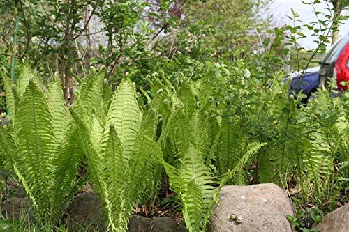 Matteuccia struthiopteris - 2 Pflanzen im 0,5 lt. Vierecktopf