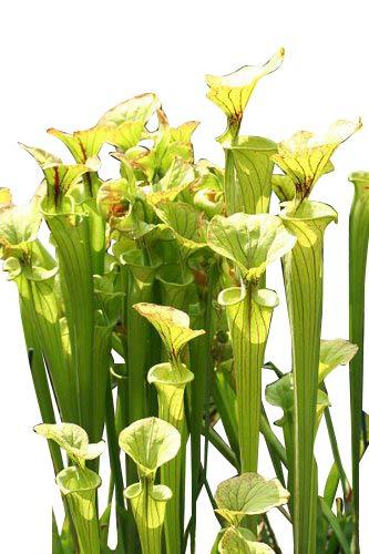 Gelbe Schlauchpflanze (Sarracenia flava) 10 frische Samen ***Direcktimport USA***