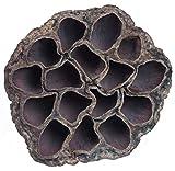 Lotuskolben natur medium 100 Stück Ø6-8cm Weihnachtsfloristik Trauerfloristik Naturprodukte Trauergesteck