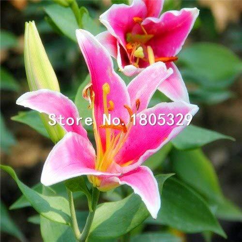 Pinkdose Perte Promotion Un paquet de 50 pièces/paquet points jaunes coeur rouge blanc Fleur de lys Graines Bonsai Balcon Cour plante Lily Fleurs: 3