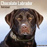 Chocolate Labrador Retriever Calendar 2018 (Square)
