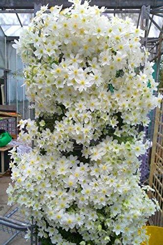 Virtue 100 teile/beutel klettern clematis Pflanzen, mehrjährige hof bonsai blume Plantas für hausgarten, BMW5UM: 2