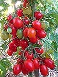 Tomatensamen Knopka - Knopf Rote russische Erbstück Kirsche Variety NON-GMO