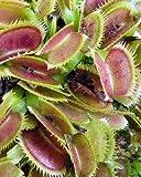 Dionaea muscipula UK sawtooth number2 - dionea atrapamoscas o Venus atrapamoscas - 5 semillas