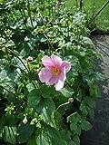 Anemone Lorelei Bodendecker rosa blühend Staude winterhart Anemone x hybrida im 3 Liter Topf 1 Pflanze