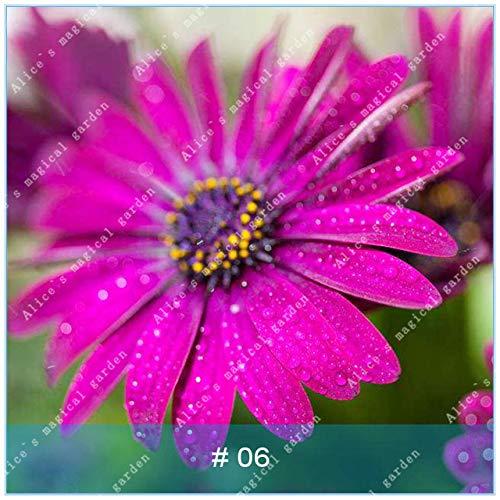 geoponics semi: zlking 100 pz gerbera varietà di colori bonsaïpianta famiglia flower garden facile da coltivare regalo bellissimo: 6