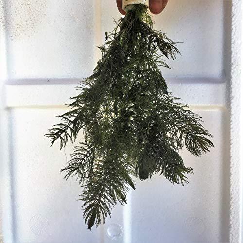 OBI cm Ceratophyllum