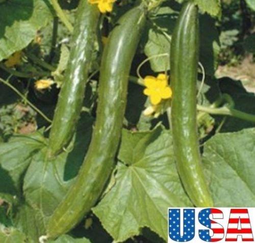 USA SELLER Lungo Tortarello Chiaro italien concombre 25-200 seedsHEIRLOOM NON OGM