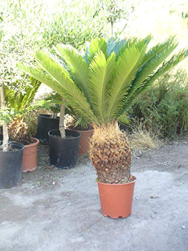 Cyca revoluta, grosse Pflanze, ca. 1m hoch und Kronendurchmesser 90 cm. Hingucker