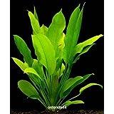 Wasserflora Große Amazonas-Schwertpflanze / Echinodorus bleheri
