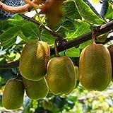 Keptei Samenhaus - Kiwi Samen Fruit Seeds Frucht Samen süße Früchte Gartenpflanzen