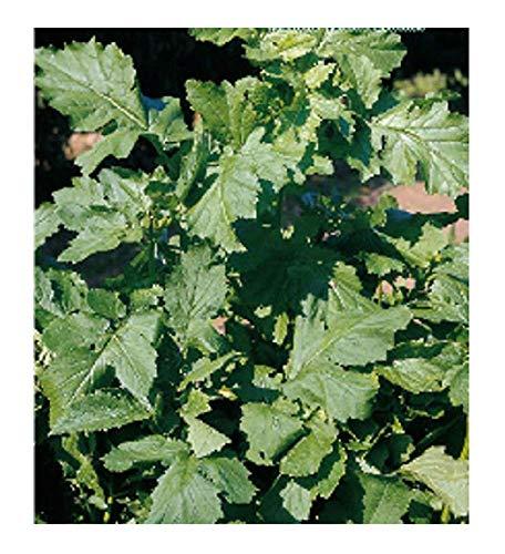 inception pro infinite semi senape nera - brassica nigra - in confezione originale - prodotto in italia - c.ca