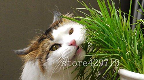200 chatons de graines d'herbe chat mangeant des graines de plantes graines d'herbe Feuillage