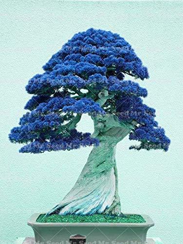 pinkdose 30pcs pianta esterna del bonsai del ginepro della pianta purifica l'aria assorba i gas nocivi la decorazione del giardino pianta molto facile da coltivare: 2