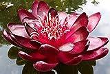 Nymphaea 'Black Princess' Blutrote Seerose Teichpflanze Schwimmpflanze