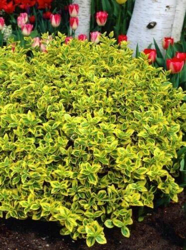 pianta euonymus fortunei emerald gold vaso Ø 11 sempreverdi e rampicanti