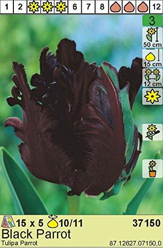 "Papageientulpe\"" Black Parrot\"" (5 Zw.)"